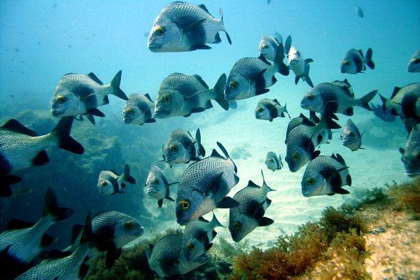 fernando_de_noronha peces